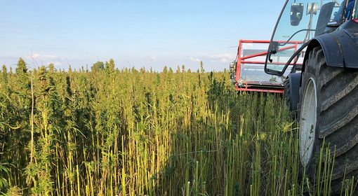 The hemp plant is cut just below the leaves and buds for further processing.