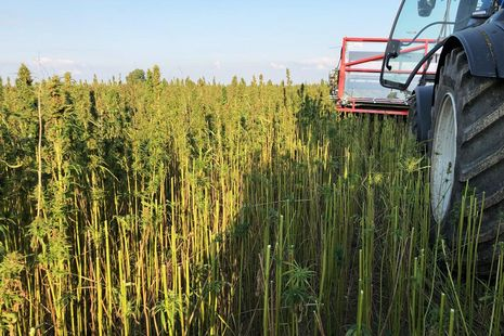 During some harvesting methods the hemp is cut off in the upper third of the plant.